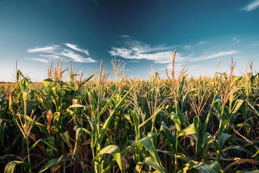 Pros and Cons of Genetic Modified Corn